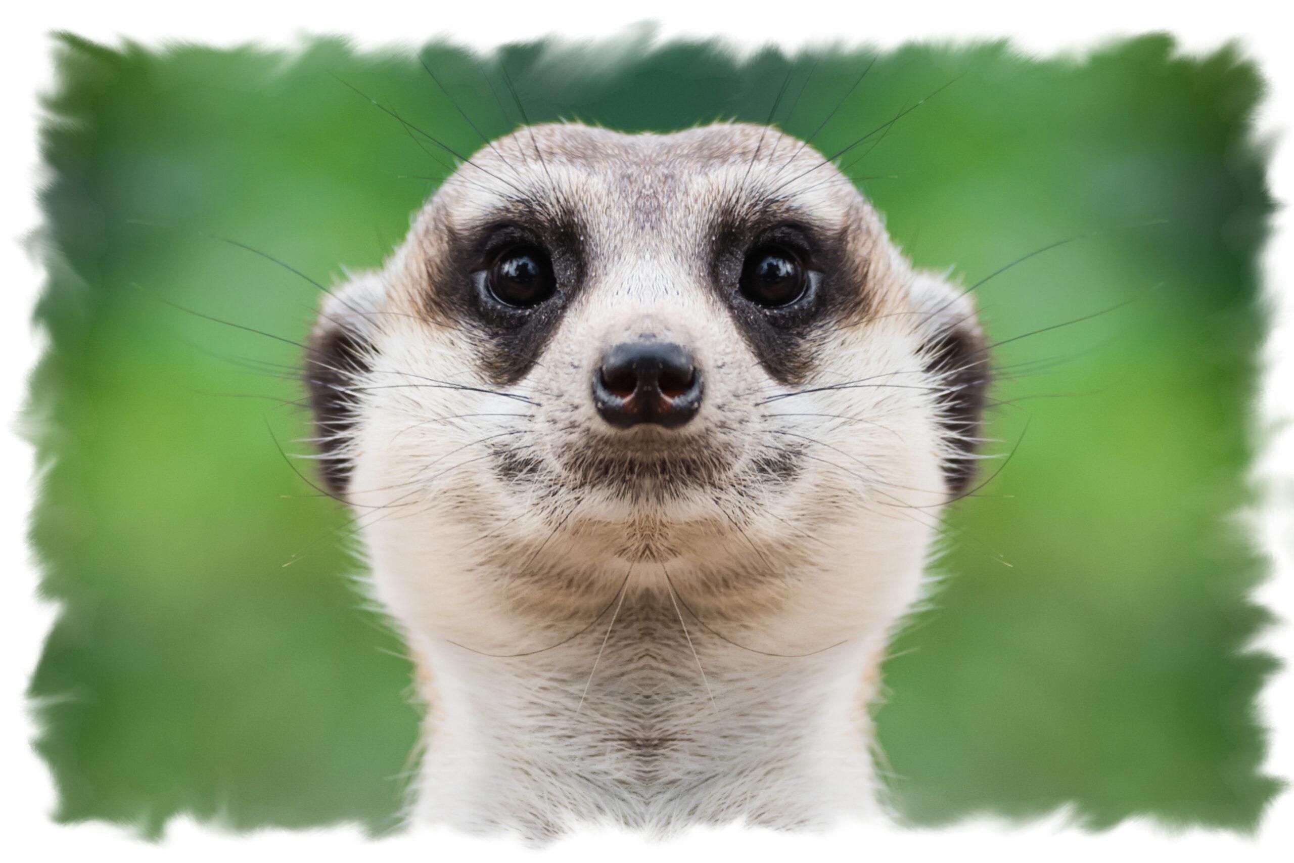 Mimsy Meerkat